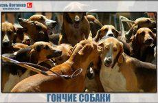Гончие собаки