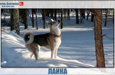 Лайка-лидер среди собак
