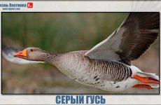 Cерый гусь-солидная и уважаемая птица