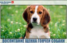 Азы и секреты в воспитании щенка гончей собаки!