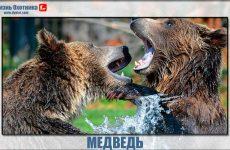 Медведь!Доброе животное или опасный зверь?