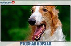 Русская борзая-самая быстрая собака?