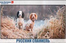 Русский спаниель-преданный друг