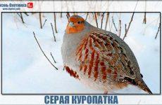 Чем серая куропатка лучше других птиц?