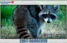 Енот-полоскун-жизнестойкий и смышлёный зверь!