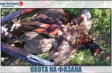 Где и как охотиться на фазана!