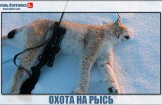Кровожадная и опасная охота на рысь!Лайка поможет?