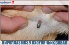 Пироплазмоз у охотничьих собак!Что делать?