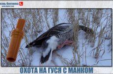 Охота на гусей с манком
