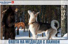 Охота на медведя с лайкой!