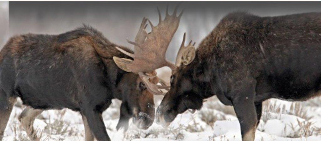 Охота на лося по снегу
