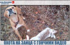 Охота на зайца с гончими видео