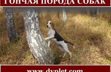 Гончая порода собак