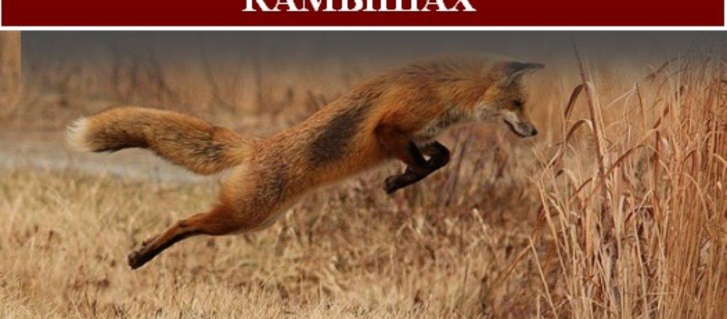 Охота на лису с гончими в камышах