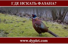 Где искать фазана?