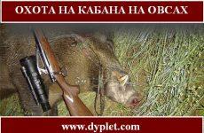 Охота на кабана на овсах