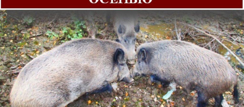 Охота на кабана с подхода осенью