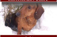 Охота на лису с норными собаками зимой