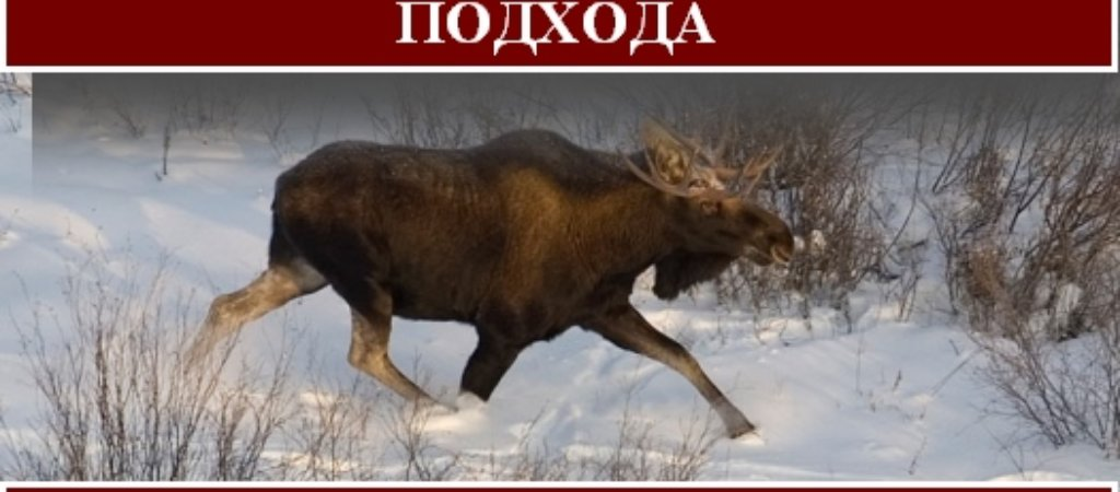 Охота на лося зимой с подхода