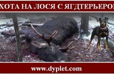 Охота на лося с ягдтерьером