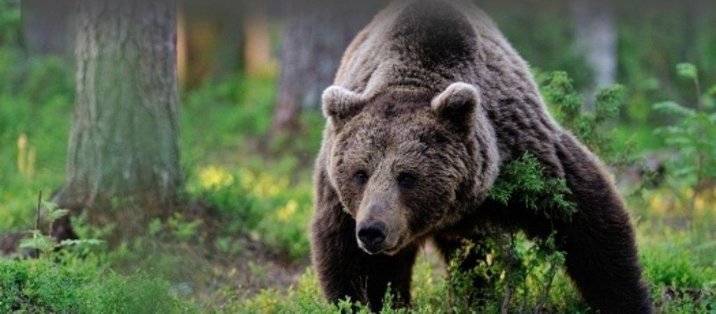 Охота на медведя летом. Какой способ применить?