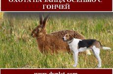 Охота на зайца осенью с гончей. Детали охоты