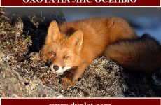 Охота на лис осенью. Где нужно охотиться?
