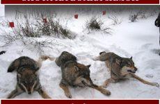 Охота на волка зимой. Как правильно охотиться на волка?