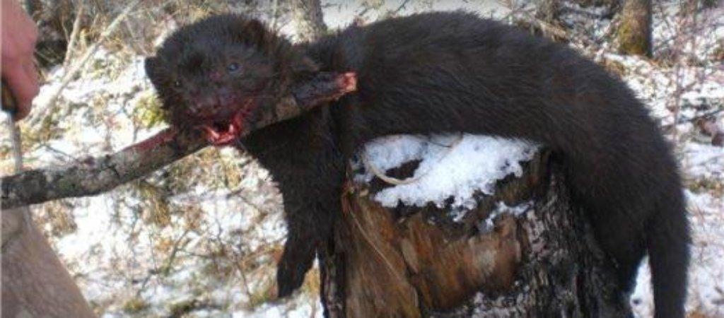 Охота на норку зимой. Обзор способов охоты
