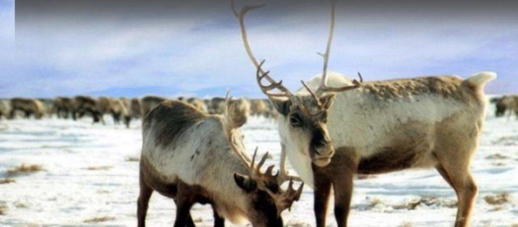 Охота на оленя зимой. Какие способы охоты применяются?