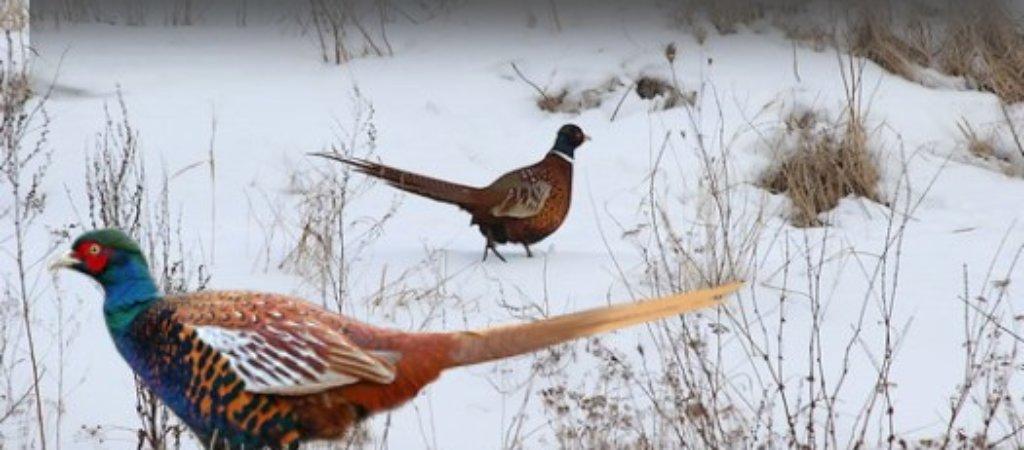 Охота на фазана зимой. Тонкости и особенности