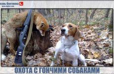 Охота с гончими собаками. Обучение, рекомендации и подробности охоты