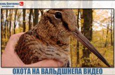 Охота на вальдшнепа видео. Эксклюзивная подборка с охоты