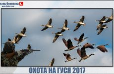 Охота на гуся 2017. Интересная коллекция видео с охоты