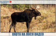 Охота на лося видео. Уникальные кадры с массой впечатлений