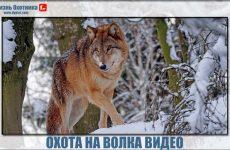 Охота на волка видео. Только лучшие фрагменты