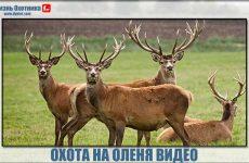 Охота на оленя видео. Максимум охоты со всего мира