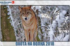 Охота на волка 2018. Видео с подробностями добычи зверя