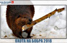 Охота на бобра 2018. Видео добычи капканами, ружьём с подхода и лабаза