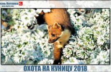 Охота на куницу 2018. Видео с новыми трофеями
