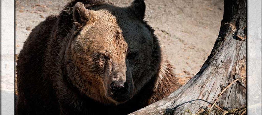 Охота на медведя 2018. Подборка видео с риском для собак и охотников