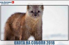 Охота на соболя 2018. Видео с острыми моментами