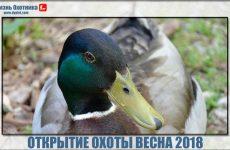 Открытие охоты весна 2018. Дата и сроки