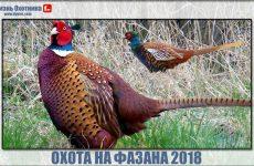 Охота на фазана 2018. Видео с успехами и разочарованиями охотников