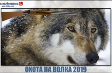 Охота на волка 2019.Самые новые видео