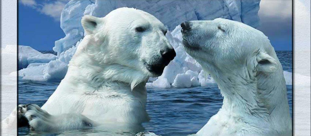 Сверхэкстремальная жизнь белых медведей — повелителей бескрайних северных льдов