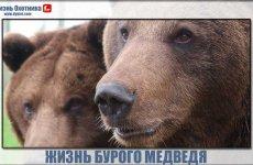 Дикая жизнь бурого медведя — одного из самых опасных и сильных хищников на земле